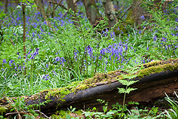 Broad Buckler-fern and bluebells. Dryopteris dilatata