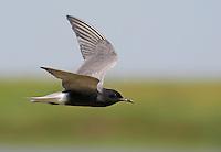 Black Tern (Chlidonias niger) Pusztaszer Nature Reserve, Hungary