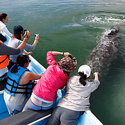 Whale watching up close, with gray whale (Eschrichtius robustus) female and calf pair swimming under boat in Magdalena Bay, Baja California Sur, Mexico.