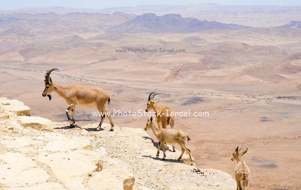 Ramon Crater, the world's largest karst erosion cirque, at the peak of Mount Negev in Israel a herd of Nubian Ibex (Capra ibex nubiana)