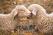 Baby lambs at a farm in Maine.