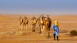 A man leading a camel train across the Moroccan Sahara Desert near Chegagga<br /> <br /> (c) Andrew Wilson | Edinburgh Elite media