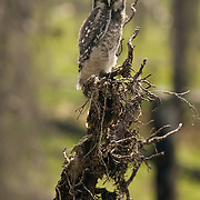 Northern Hawk Owl (Surnia ulula) fledging perched on a tree in a forest. Montana