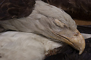 Eagle specimen, part of Tulane University's Natural History Museum collection.