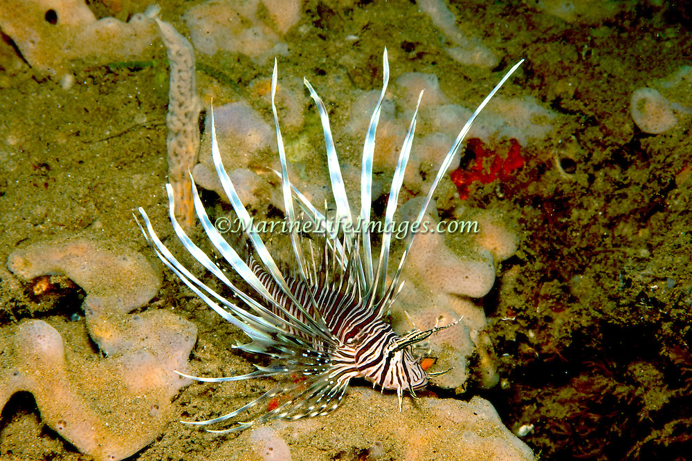 Red Lionfish an invasive species inhabit reefs and many other habitats in Tropical West Atlantic; picture taken San Salvador, Bahamas.