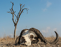 African, or Cape buffalo, Syncerus caffer, skull on the ground with dead tree in the background.