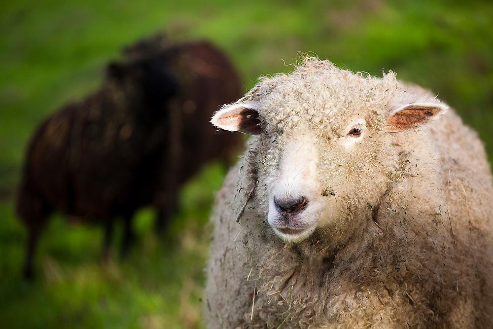 Portrait of a white sheep at Slide Ranch, a non-profit teaching farm in the Golden Gate National Recreation Area near Muir Beach, California.