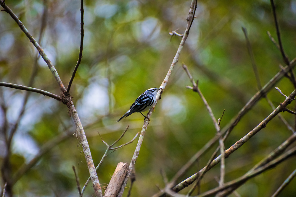 This beautiful black-and-white warbler is a forest and swamp-loving songbird and is the only member of the genus Mniotilta. Found across most of Eastern North America, it spends its winters in warmer climates from Texas and Florida down to northern South America. This one was found and photographed while it was hunting through swarms of flying insects in Southwest Florida's Corkscrew Swamp near Naples on a chilly November evening.