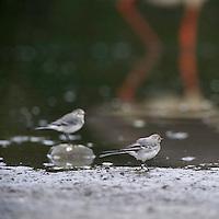 Mission: Black Storks River Elbe Germany; Biosphärenreservat Niedersächsische Elbtalaue; Biosphere Reserve Middle Elbe; Black Stork; Schwarzstorch; Ciconia nigra; Bachstelze; Montacilla alba; White Wagtail