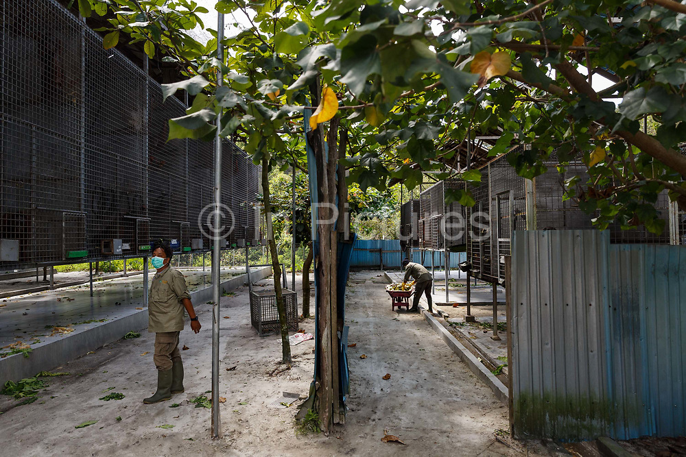 Staff feed fruit to orang-utans in cages in Nyaru Menteng Rehabilitation Centre, run by the Borneo Orangutan Survival Foundation, in Central Kalimantan, Borneo, Indonesia on 22nd May 2017. The centre houses around 450 rescued orangutans who have been displaced from their habitats by human activity. Many of them will be reintroduced into the wild, but some animals have illnesses or injuries that means they have to remain in the sanctuary indefinitely.