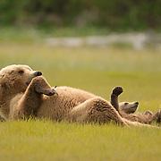 An Alaskan Brown Bear cub (Ursus middendorffi) imitates its mother lying on its back. Spring in Katmai National Park, Alaska