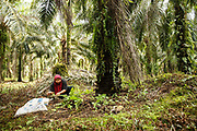 A smallholder collects loose palm fruits during harvesting on her family plantation in Ukui, Riau Province, Indonesia, on 15 June 2015. This area has become dominated by palm oil production, and some smallholder farmers have formed co-operatives to share costs, increase access to markets, and become certified by the Roundtable on Sustainable Palm Oil. She and her husband are part of Amanah, a local cooperative that has helped over 400 farmers become RSPO certified - reducing their use of pesticides and fertilizers, increasing yields, and improving farm management.