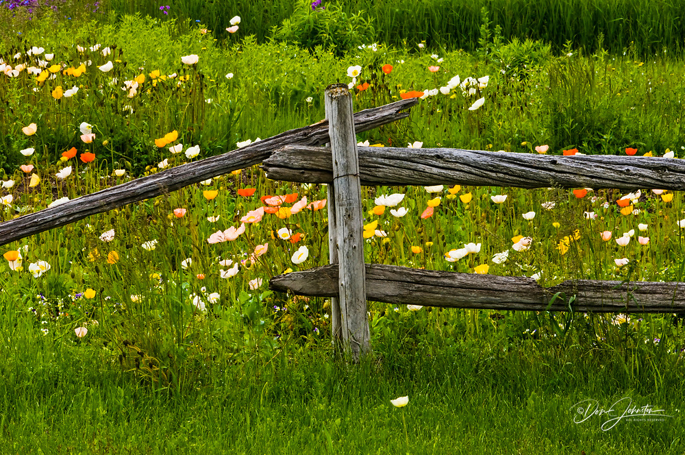 Wooden fence with flowering poppies and grasses, Ste. Flavie, QC, Canada