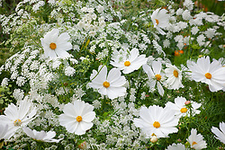 Cosmos bipinnatus 'Purity' with Ammi majus - Bullwort, Common bishop's weed