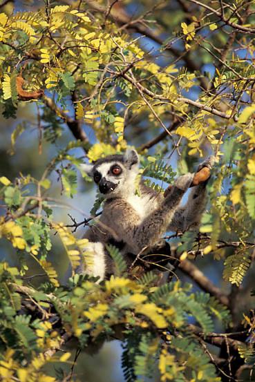 Ring-tailed Lemur, (Lemur catta) ENDANGERED SPECIES. eating fruit of Tamarind Tree. Madagascar.