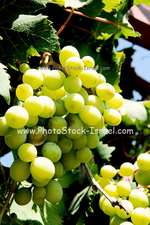 A bunch of green edible grapes on a vine. Summer June 2007