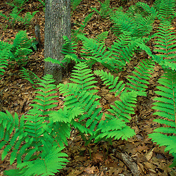 Ferns in the woods next to Woodman Brook, a tributary of the Lamprey River.  Durham, NH