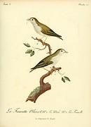 Fauvette Olivert [Olive Warbler] (Unidentified) from the Book Histoire naturelle des oiseaux d'Afrique [Natural History of birds of Africa] Volume 3, by Le Vaillant, François, 1753-1824; Publish in Paris by Chez J.J. Fuchs, libraire 1799 - 1802