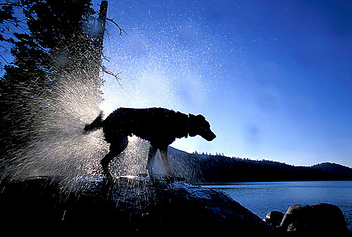 Dog shaking off water after fetching a stick in the clear blue waters of Lake Tahoe, CA.<br />