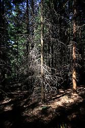 CZECH REPUBLIC VYSOCINA APR09 - Pine forest on sandy soil in Vysocina, Czech Republic...jre/Photo by Jiri Rezac..© Jiri Rezac 2009
