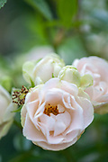 Rosa 'Paper 1st Anniversary Celebration' - floribunda rose