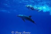 snorkeler with Spot, a wild, lone, sociable bottlenose dolphin, Tursiops truncatus, Cayman Islands ( Caribbean Sea )