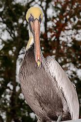 Pelecanus occidentalis, Brauner Pelikan, Braunpelikan, Brown Pelican, Ginnie Spring, High Springs, Gilchrist County, Florida, USA, United States