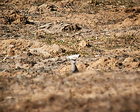 Crowned Lapwing. Darling Wind Farm, Western Cape, South Africa. Image taken with a Nikon 1 V3 camera and 70-300 mm VR lens