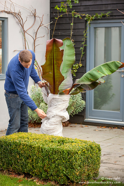 Wrapping a tender banana plant in horticultural fleece for winter protection. Ensete ventricosum