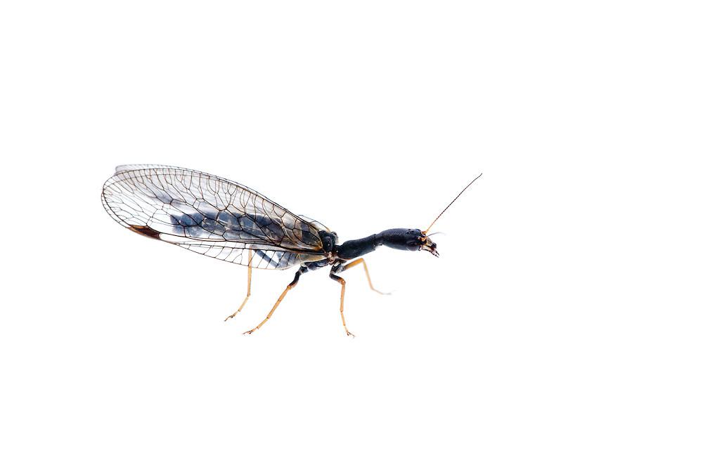 IFTE-NB-007778; Niall Benvie; Snake fly; family Raphidiae; Europe; Austria; Tirol; Fliesser Sonnenhänge; insect arthropod invertebrate; horizontal; high key; black white; controlled; one; woodland edge; 2008; July; summer; strobe backlight; Wild Wonders of Europe Naturpark Kaunergrat