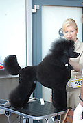 Black Miniature Poodle standing side view