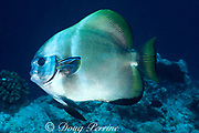 batfish or spadefish, Platax sp, being cleaned by cleaner wrasses, Labroides dimidiatus, Sipadan Island, off Borneo, Sabah, Malaysia ( Celebes Sea )
