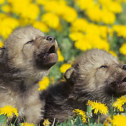 Gray Wolf, (Canis lupus) Young pups in field of dandelions, howling. Montana.  Captive Animal.