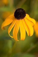 Yellow Prairie Coneflower, Falls of the Ohio State Park, Clarksville, Indiana