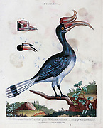 Buceros (Asian Hornbills) 1. The Rhinoceros Hornbill (Buceros rhinoceros) 2. beak of the Helmeted Hornbill (Rhinoplax vigil) 3. Beak of the pied Hornbill (Anthracoceros albirostris). Copper engraving with hand colouring from Encyclopaedia Londinensis, or, Universal dictionary of arts, sciences, and literature [miscellaneous plates] by Wilkes, John Publication date 1796-1829
