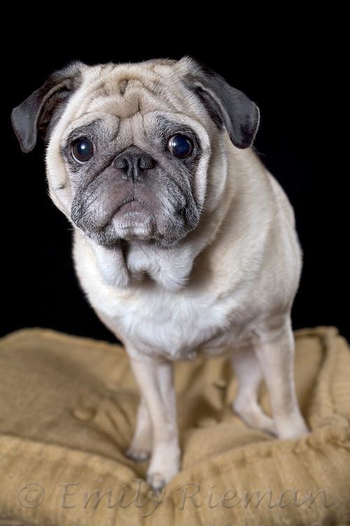 Elderly pug