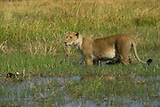 Lioness (Panthera leo) crossing water<br /> Moremi Game Reserve, Okavango Delta<br /> BOTSWANA<br /> RANGE: Sub-Saharan Africa