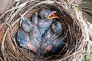 Nederland, Ubbergen, 2-4-2014Merels in onze tuin hebben hun eerste broedsel gelegd. Natuur van slag door zachte maar mooie voorjaarsweer. Inmiddels zijn de eitjes uitgekomen en liggen er drie kuikens.Foto: Flip Franssen/Hollandse Hoogte