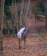 """White-tailed deer """"flagging"""" his tail as he departs the scene."""