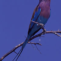 Lilac-breasted Roller perched on Acacia tree branch in Africa.