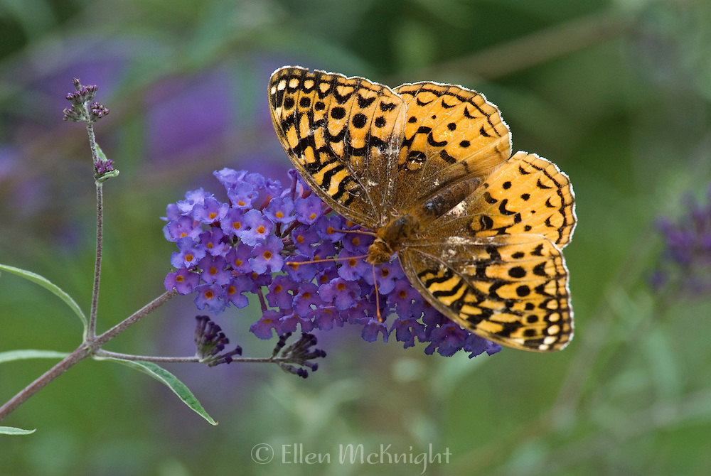 Fritilllary on Buddleja Flower