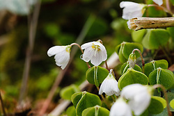 Witte klaverzuring, Oxalis acetosella