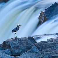 A great blue heron (Ardea herodias) resting on a ridge in the middle of the Great Falls of the Potomac River at evening twilight, Chesapeak and Ohio Canal National Historic Park, Potomac, Maryland