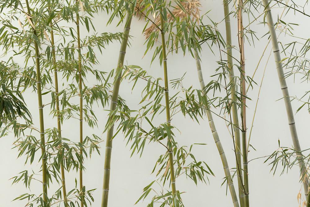 Bamboo, Huntington Gardens, San Marino, California