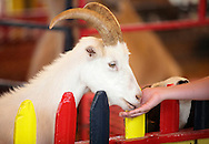 Augusta, New Jersey - A person feeds a goat at a petting zoo at the New Jersey State Fair and Sussex County Farm and Horse Show on Aug. 11, 2010.