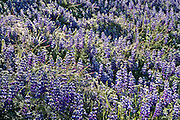 Field of Lupine, Ahwahnee, California