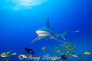 sandbar shark, Carcharhinus plumbeus, with parasitic copepod behind gills, swims through school of bluestripe snapper or taape, Lutjanus kasmira, Honokohau, North Kona, Hawaii (the Big Island),  United States ( Central North Pacific Ocean )