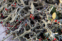 Close-up of the bright red fruiting bodies of the jester lichen (Cladonia leporina) is an interesting member of the already interesting Cladionia lichens with their odd and often colorful fruiting bodies. What's particular about this species is their preferred habitat of dry, open sandy soils instead the typical Cladonia low-to-mid mountain forest that gets lots of rainfall. This one was found growing in mass profusion just above the high tide line in the Gulf Islands National Seashore next to Fort Pickens near Pensacola, Florida.