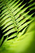 Detail of fern, Cloud Forest, Mashpi Reserve, Distrito Metropolitano de Quito, Ecuador, South America