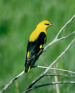 Golden Oriole Oriolus oriolus L 22-24cm. Stunning and unmistakable but heard more often than it is seen. Sexes are dissimilar. Adult male has mainly bright yellow plumage with black on wings and tail. Bill is red. Adult female is similar but duller and paler below, with some streaking. Juvenile is similar to adult female but upperparts are green and underparts are more heavily streaked. Voice Song is fluty and tropical-sounding wee-lo- weeow. Utters harsh cat-like calls in alarm. Status Regular passage migrant and scarce breeder; nests in poplar plantations in E Anglia.